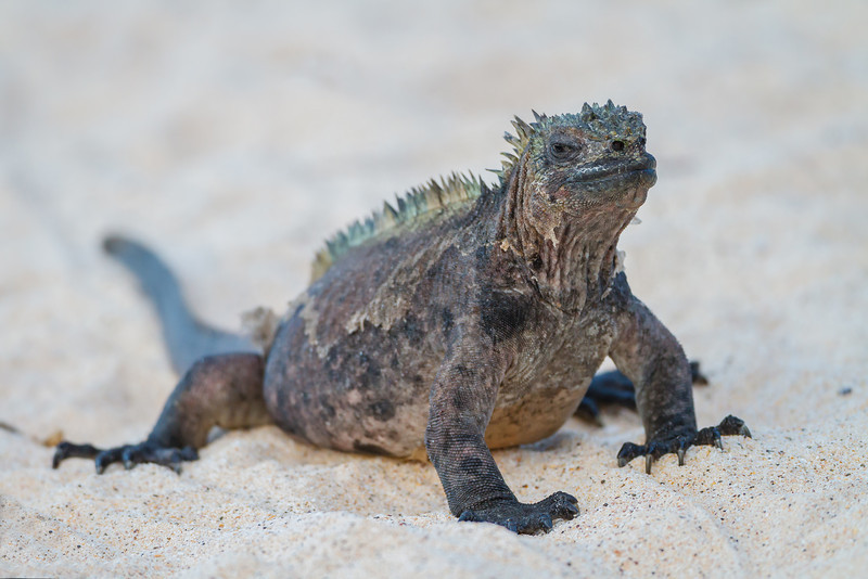 The Marine Iguana is found nowhere else on this planet. Luckily there is an abundance of them!