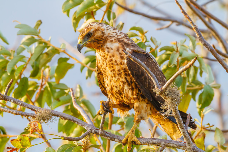The Galapagos Hawk is also endemic to the islands.