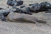 This Galapagos sea lion apparently enjoyed a good roll in the sand!