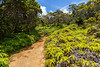 The Pihea Trail in Koke'e State Park winds its way between beds of ferns and groves of Ohia trees.