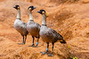 The state bird for Hawaii is the Nene (Hawaiian Goose).