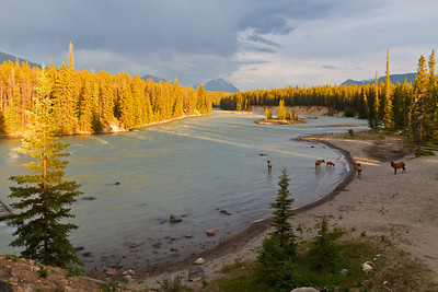 Elk relaxing in the Athabasca River
