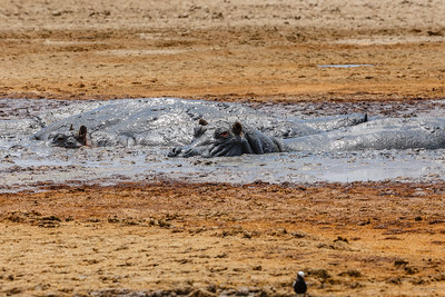 Hippopotamus enjoying a mud bath!