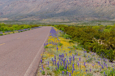 Texas Bluebonnets and other wildflowers adorn the Main Park Road from Persimmon Gap to Panther Junction