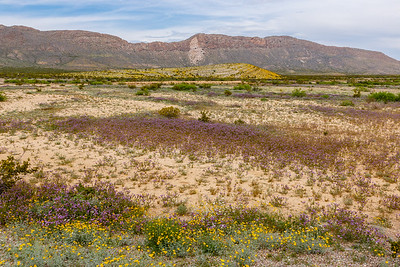 Mountains and desert wildflowers, as seen along the Main Park Road from Persimmon Gap to Panther Junction