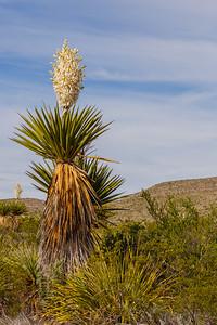 Dagger Yucca along Dagger Flats Auto Trail