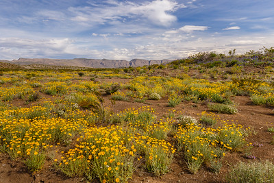 Mountains and desert wildflowers, as seen along the Dagger Flats Auto Trail