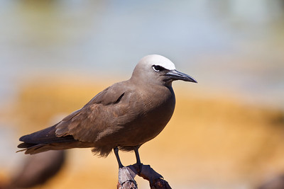 Brown Noddy, orange background