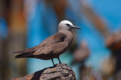 Brown Noddy, blue background