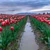 Tulips Forever II