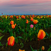 Tulips Last Light