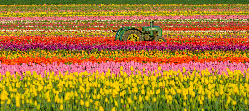 Deere in the Tulips