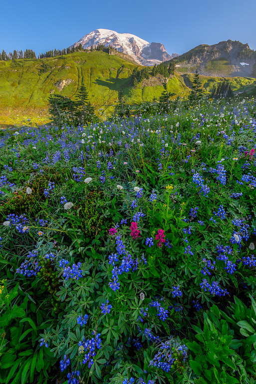 Lupine in Paradise