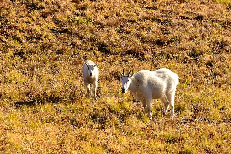 Autumn Mountain Goats