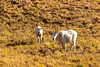 Autumn Mountain Goats