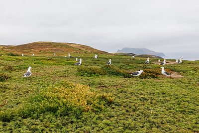 Nesting Western Gulls on Anacapa Island, Channel Islands National Park