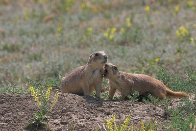 Black-tailed Prairie Dogs at Theodore Roosevelt National Park (South Unit)