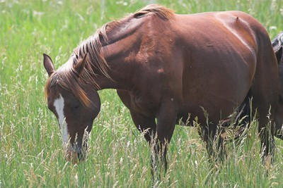 WIld horse at Theodore Roosevelt National Park (South Unit)