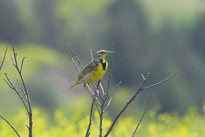 Western Meadowlark at Theodore Roosevelt National Park