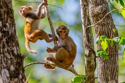 Monkeys along the Silver River