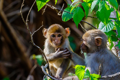 Monkeys along the Silver River