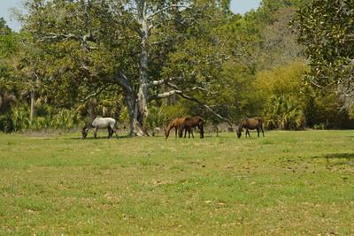 WIld horses at Cumberland Island NS