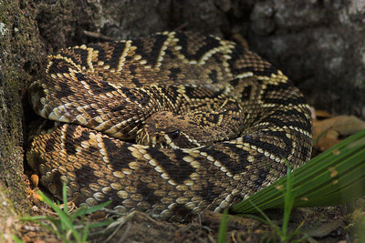 Diamondback rattlesnake at Cumberland Island NS