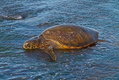 Green turtle at Laniakea Beach (Oahu)