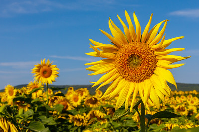 Presque Isle sunflowers