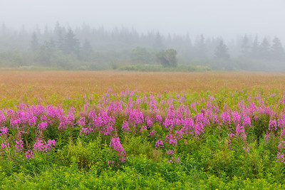 Fireweed and fog - West Quoddy Head