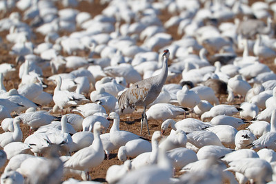Lone Sandhill Crane amongst the Snow Geese crowd, Bosque del Apache National Wildlife Refuge
