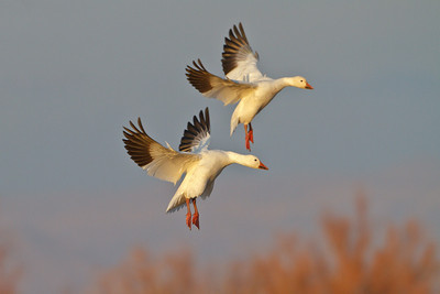 Evening landing, Bosque del Apache National Wildlife Refuge