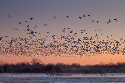 Morning take-off, Bosque del Apache National Wildlife Refuge