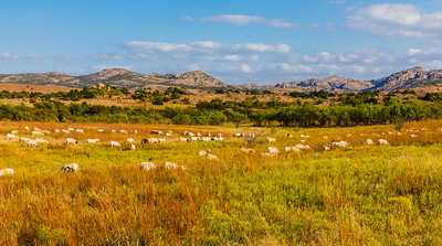 Sheep and the Wichita Mountains