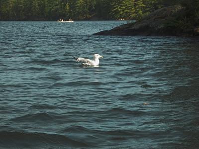 Herring Gull, Algonquin Provincial Park