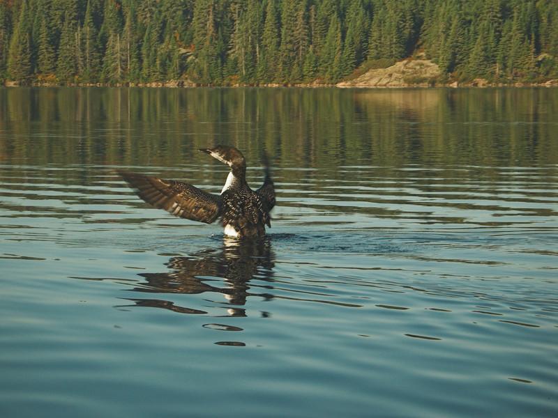 Common Loon, Algonquin Provincial Park