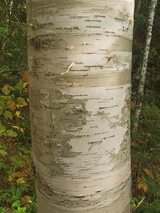 Birch tree, Algonquin Provincial Park