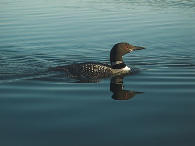 Common Loon, Algonquin Provincial Park