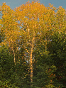 Birch tree with fall colors, Algonquin Provincial Park