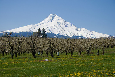 Mt. Hood and a pear orchard (photo by Kerry Brooks)