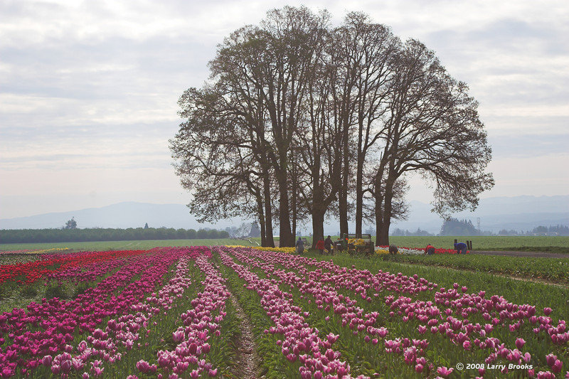 Workers clips the flowers at the Wooden Shoe Tulip Farm