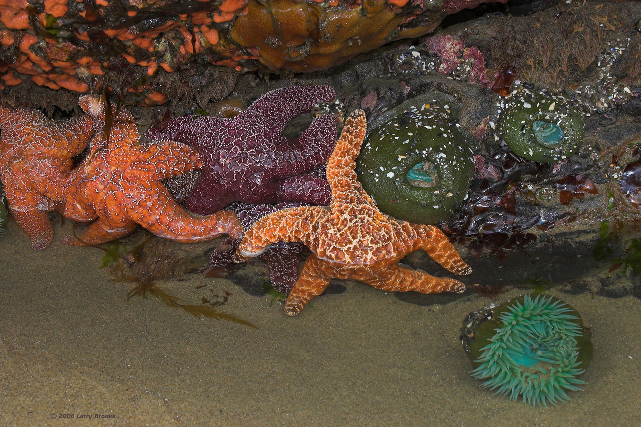 Colorful Starfish and Sea Anemone are a pleasant surprise in a tidal pool near Oceanside.