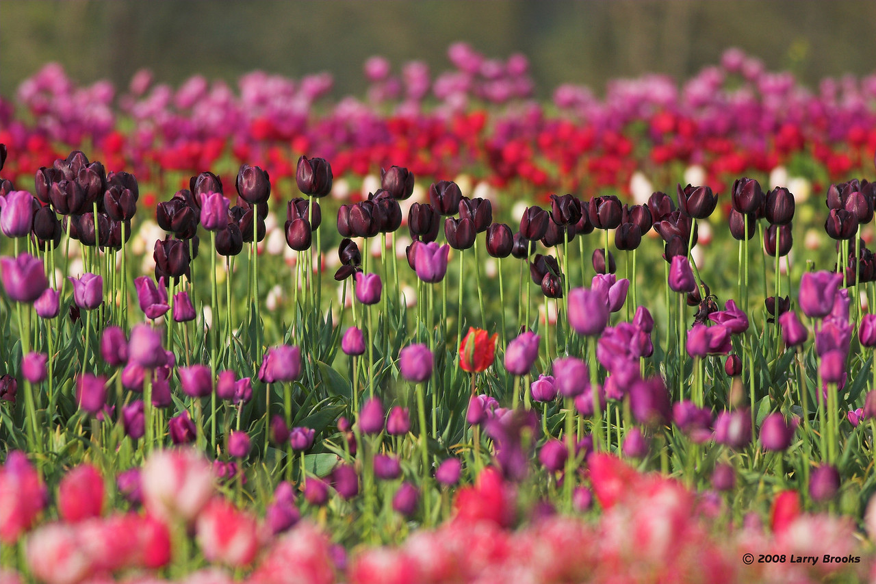 Lots of color at the Wooden Shoe Tulip Farm