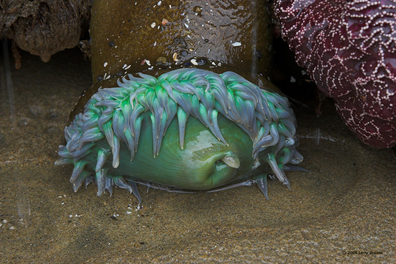 A tired Sea Anemone considers a nap in an Oceanside tidal pool.