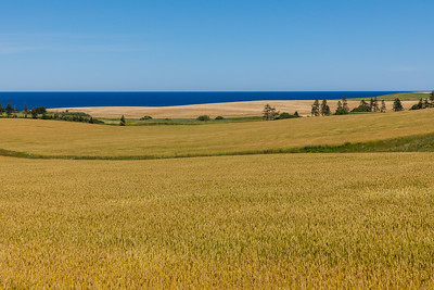 Golden fields near French River