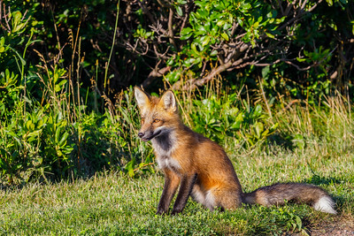 Red Fox, sighted near Cavendish