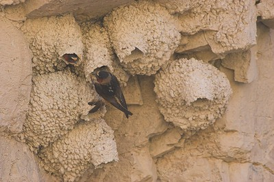 Cliff Swallows,  Badlands National Park