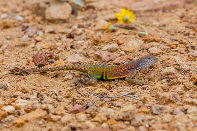 Southwestern Earless Lizard are everywhere in Big Bend National Park