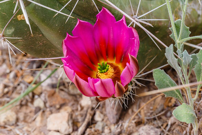 Cactus bloom in Big Bend National Park