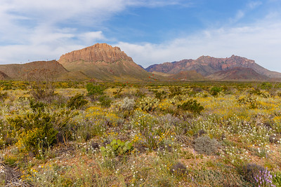 The Chisos Mountains provide a backdrop for the colorful wildflowers and cactus of the Chihuahuan Desert in Big Bend National Park